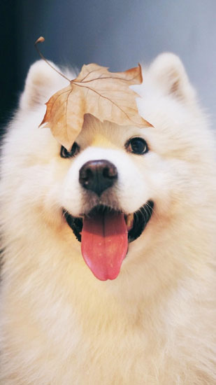 萌萌柴犬高清壁纸